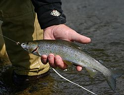 arctic grayling picture