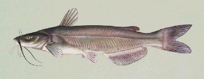 channel catfish picture