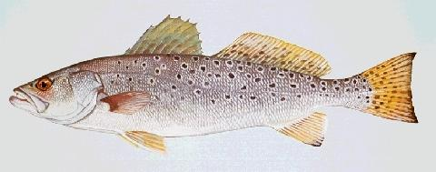 speckled trout picture
