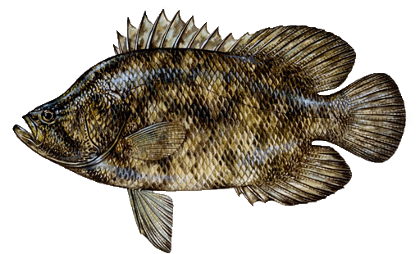 tripletail picture