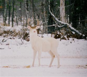 Download Whitetail Deer Pictures Software: Deer Drive, Deer