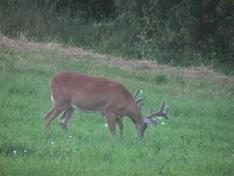 deer in food plot