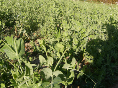 Notice that the spring peas (taller plants) have taken most of the grazing pressure allowing the winter peas (shorter plants) to develop relatively unscathed.
