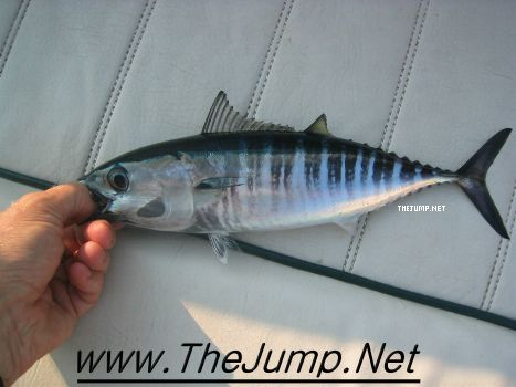 Picture of a baby bluefin tuna for What does a tuna fish look like
