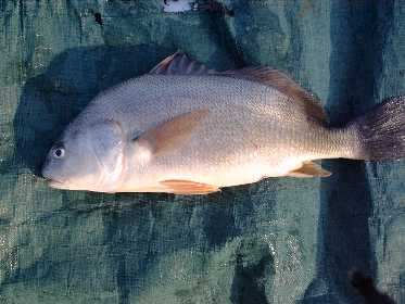 Freshwater drum images for Sheepshead fish eating