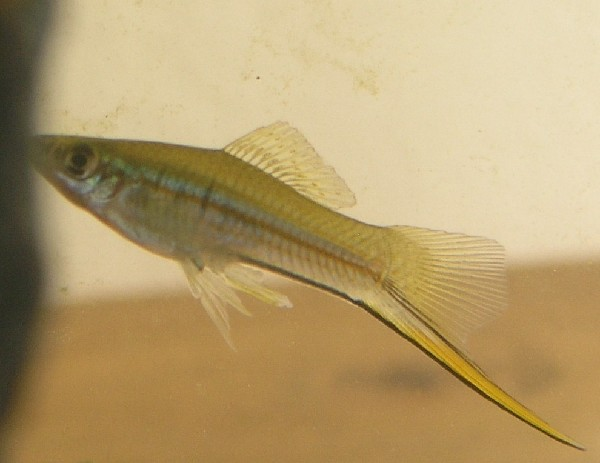 Green Swordtail EAGLE RAY
