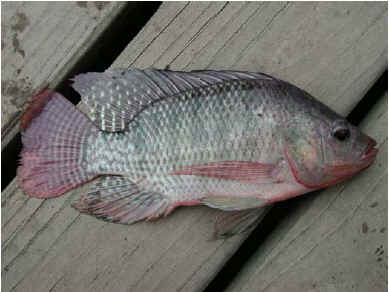 tilapia from the nile to the This file contains a global overview of the aquaculture species nile tilapia.