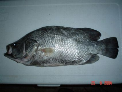 Tripletail lobotes surinamensis for Triple tail fish