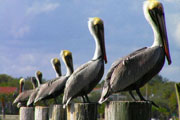 Pelicans on Post