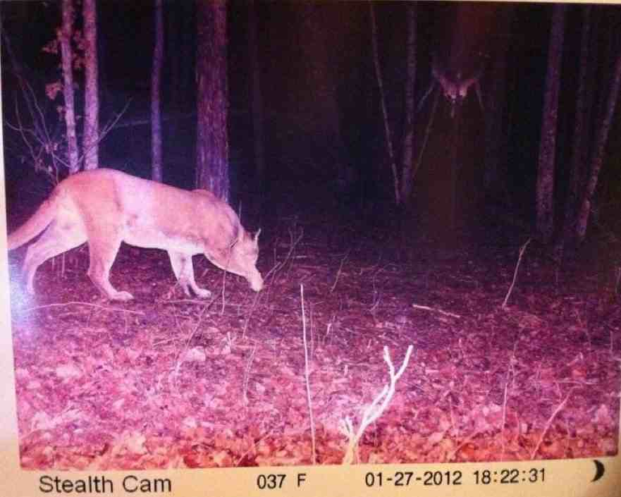 cougars in missouri