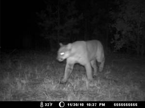 arkansas cougar