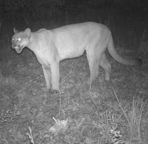 cougar in oklahoma